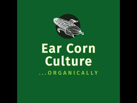 Picking Ear Corn (Certified Organic)