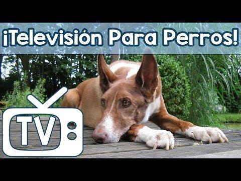 TV para perros a mirar! ¡Entretenimiento de vacas y ovejas con música tranquila para perros!