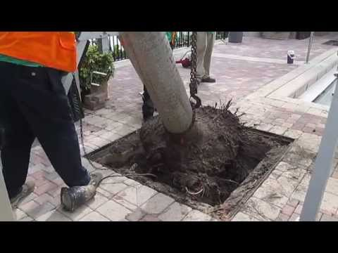 Removing a palm stump from pool deck