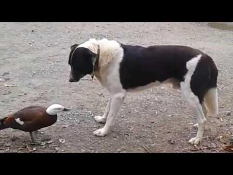 Duck vs Dog