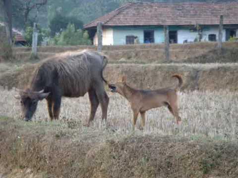 Dog chases & bites buffalo's tail !!