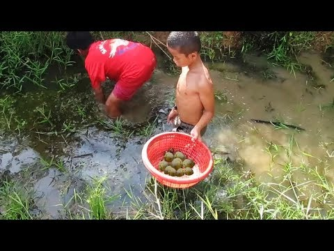 How to find snails in Cambodia / Easy way to catch snail in the pond - Amazing fishing