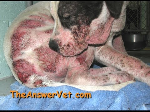 How to cure Dogs scaly skin allergies By Aman Prabhakar