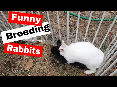 How to Breed Rabbits: Lucky and Midnight