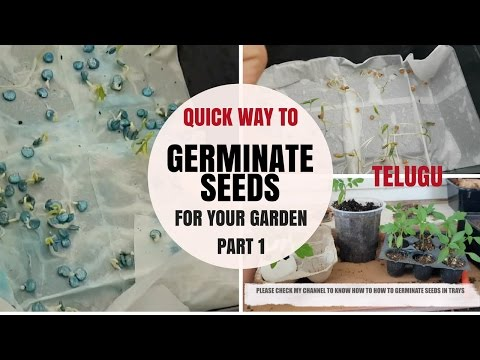 easy way to Germinate any Seeds Fast and PART 1 Telugu | Chilli Tomato  and Egg plant seeds