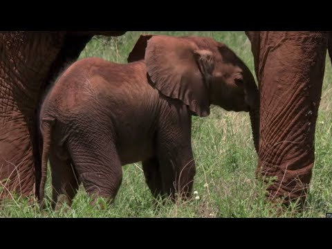 Tranquilized Elephant Mother risks crushing her baby | BBC Earth