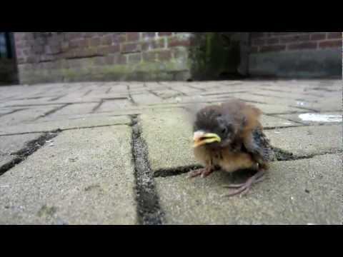 Baby bird fallen or tossed from nest