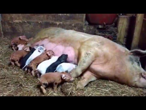Keeping piglets warm