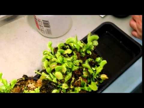 Venus Flytrap Feeding