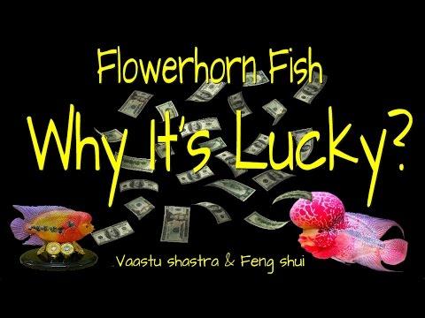 How Flowerhorn Fish Brings Good Luck.