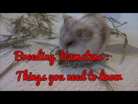 Breeding Hamsters ; Things you need to know