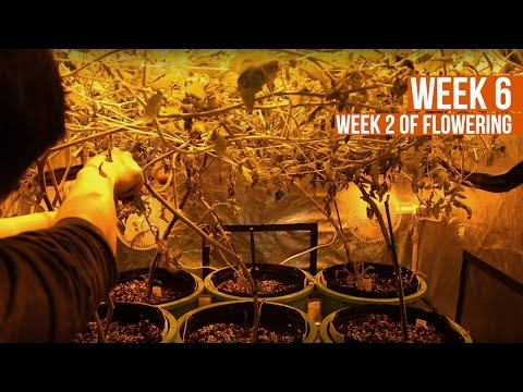Complete Hydro Grow Tent Kit System - Week 6 Grow Journal | Hydroponic Gardening for Beginners