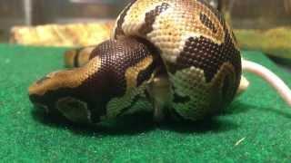 Baby Ball Python Live Feed