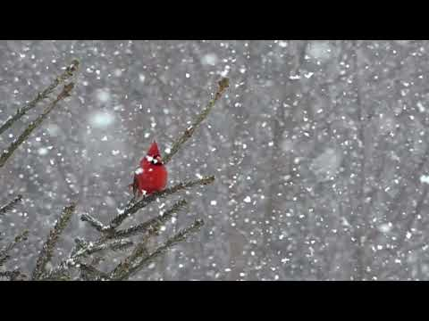April 5th 2018 What's Wrong With This Picture Cardinal In Falling Snow