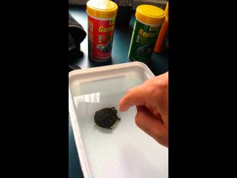 The right way to feed your (baby) aquatic turtle!