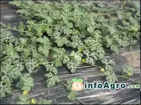 Watermelon Growing. How to plant, grow and harvest watermelon