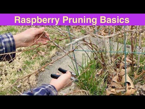 Raspberry Pruning Basics   Spring Raspberry Pruning   Rubus idaeus