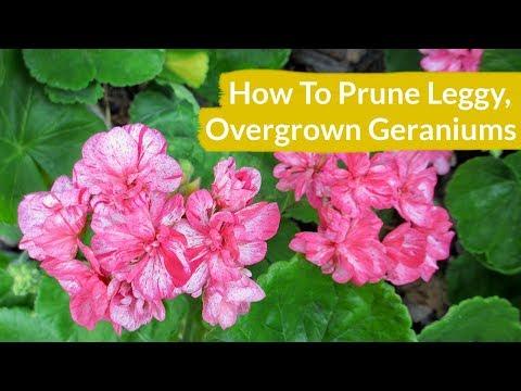 How To Prune Leggy, Overgrown Geraniums / Joy Us Garden