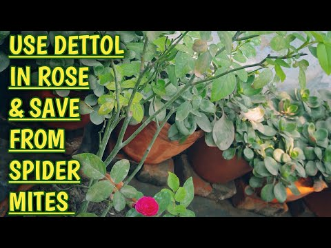 Rose Hack- Simply Remove Spider Mites from Rose. 1000% Guarantee, Try this. Part 1 check Description