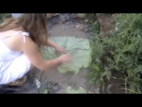 Making stepping stones out of Rhubarb leaves Part I (Updated)