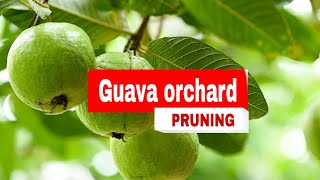 Guava Cultivation Guide : Planting , Pruning & Fertilizing