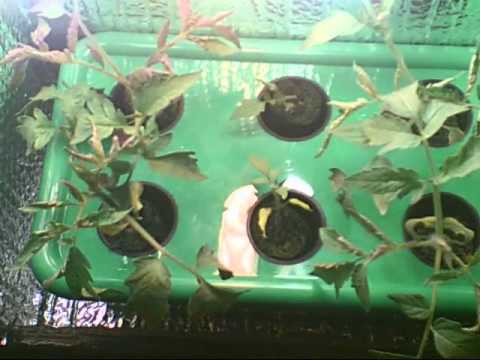 Cash Crop 4.0 Instructional Video Guide With Water Change