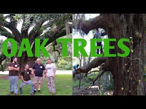 Live Oak vs Laurel Oak, bluff oak, water oak identification
