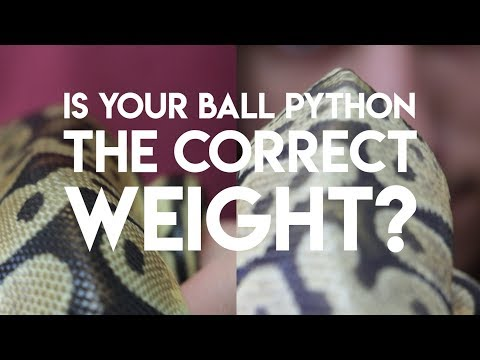 How to Tell if Your Ball Python is Underweight