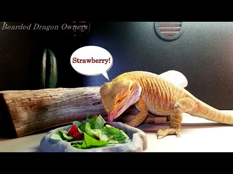 Bearded Dragon (Blaze) // Our Typical Conversation [4K].