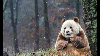Aerial tour: home to over 300 wild giant pandas, world's only brown panda Qizai also lives in Foping