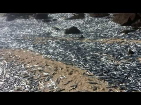 Mass Deaths Update Pacific Ocean Animals Dying! Fukushima? Nat Geo Blames Hot Water