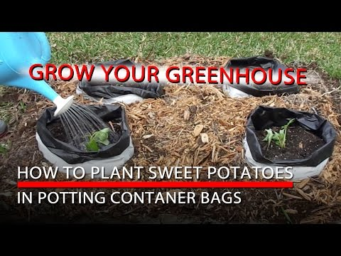How to Plant Sweet Potatoes and Potting Container Bags