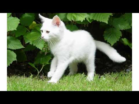 Black and white cat breed