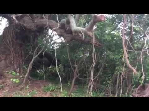 Old Live oak tree in Chesapeake