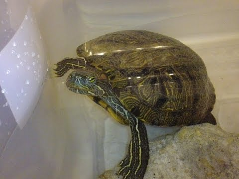 Rescue Update. She Eat's!!! Our adorable female rescued red eared slider turtle.
