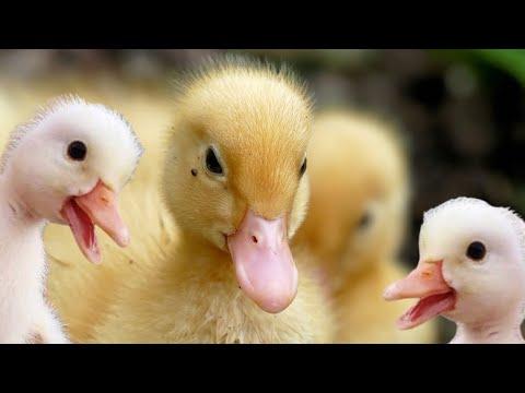Pekin ducklings hatching