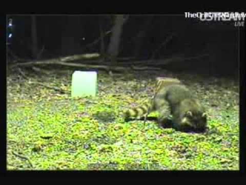 Raccoon digging and kissing the cam