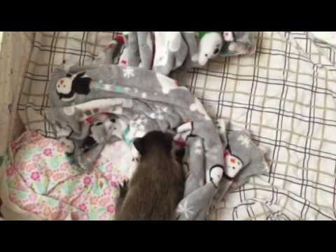 Baby raccoon learning to walk
