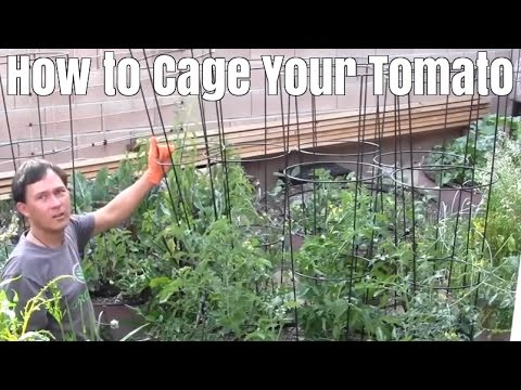 How to Cage Your Tomato Plant after it gets Big with Little Damage