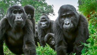 Spy Gorilla Comes Face To Face With Alpha Silverback | BBC Earth