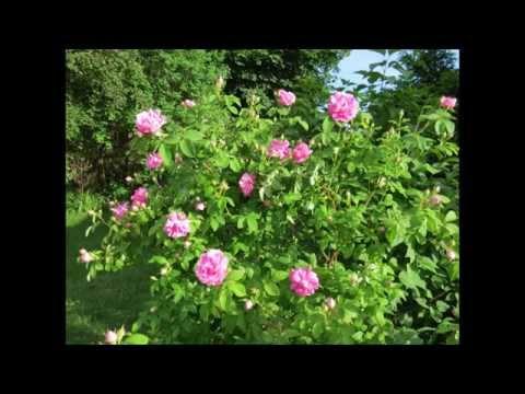 ╭დ╯🌹My beautiful pink antique climbing heirloom roses🌹╭დ╯