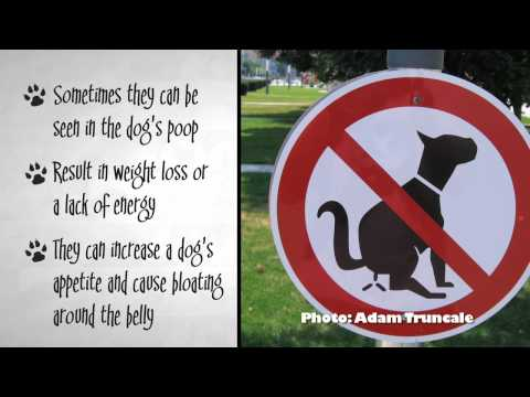Worms In Dogs - Symptoms & Treatment