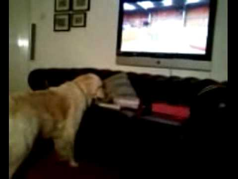 cute dog barking at tv