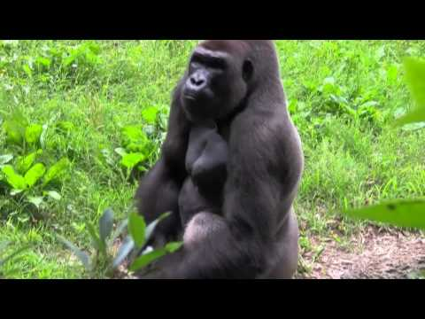 Dramatic Gorilla Video