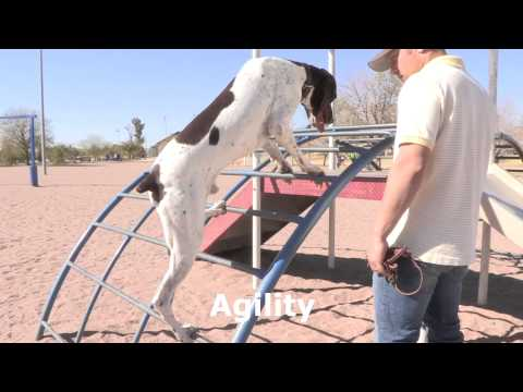 Ben the German Shorthaired Pointer climbs Monkey Bars and does more Crazy Tricks!