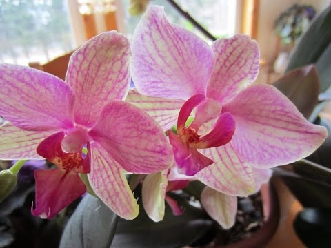 How to make your orchids bloom constantly.