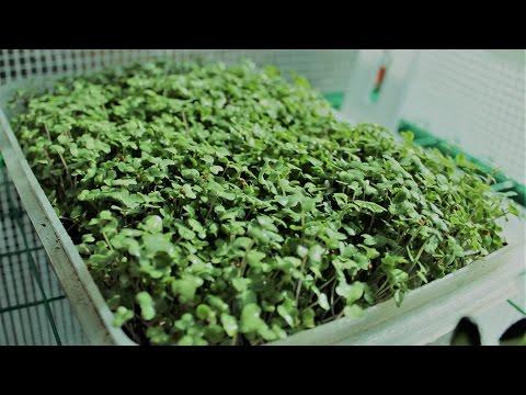 Growing Broccoli Micro-greens Hydroponically