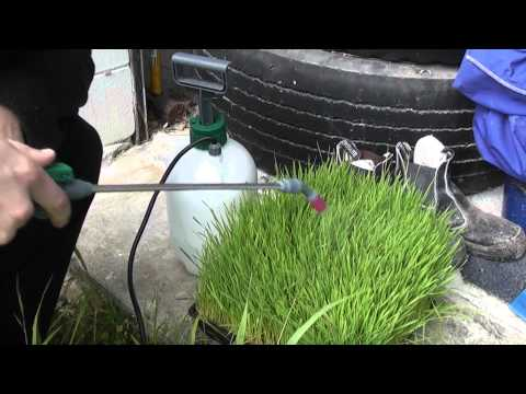 Wheatgrass Mold - how to prevent it