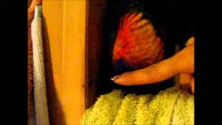 How To Train Your Baby Lorikeet