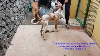 Download Albergue Valle Colino, UKE, KALESSI (Adop), FLACO, SINATRA y CHARO (Adop) en adopción Video